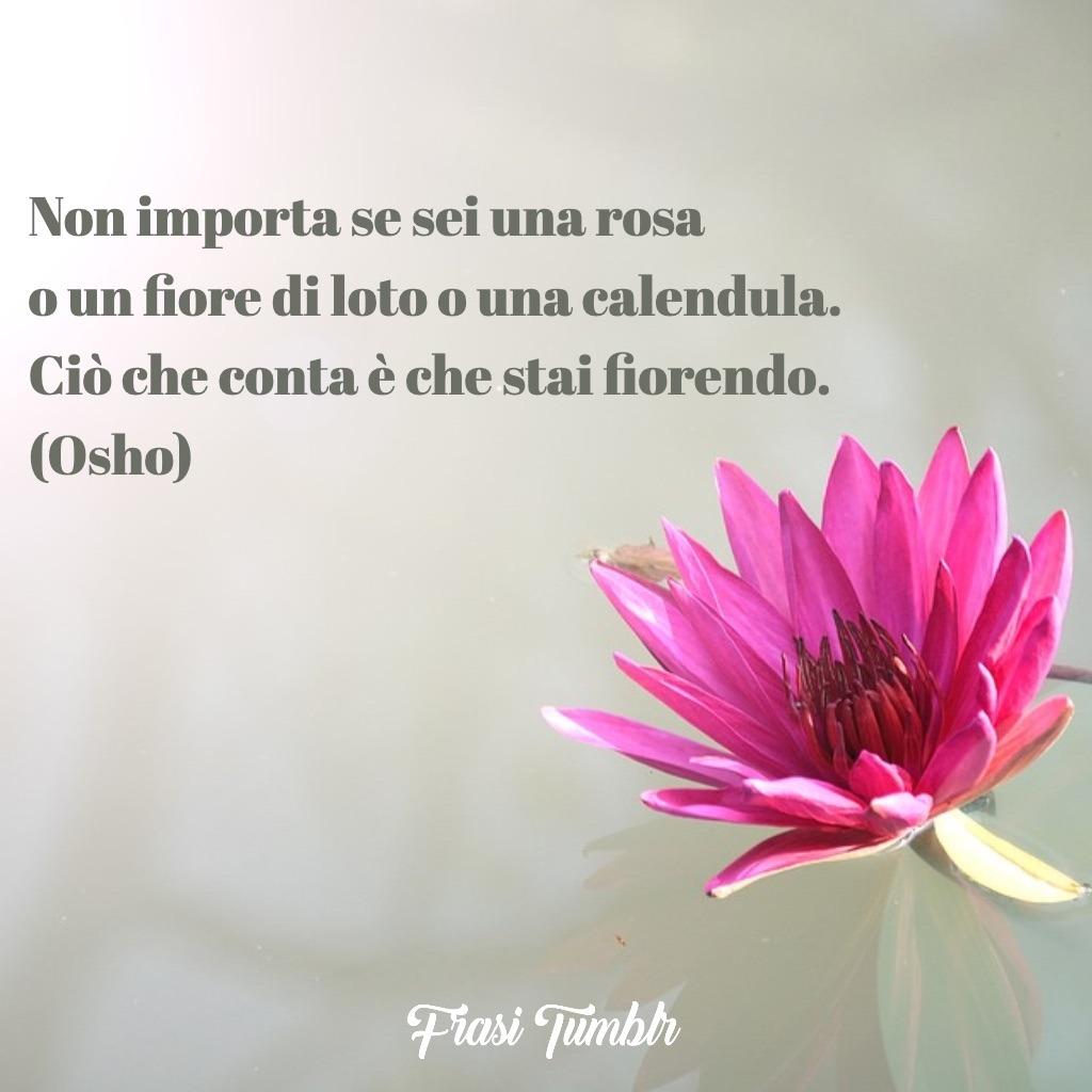 frasi osho rosa fiore loto calendula fiorire tu stai fiorendo